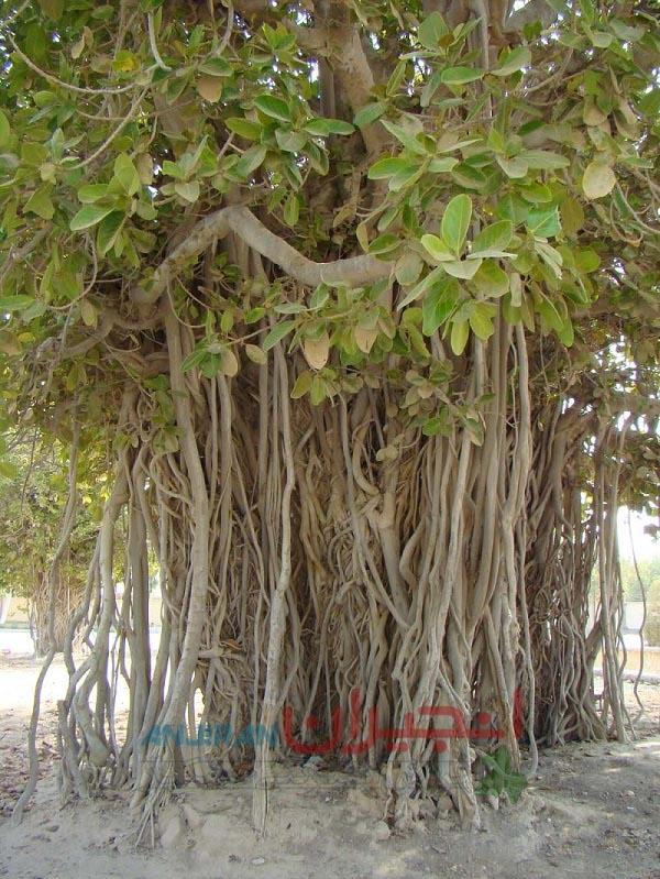 ریشه و تنه انجیر معابد