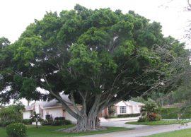 انجیر معابد یا درخت لور درختی زینتی در جنگل های بارانی