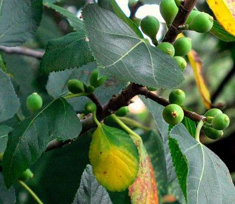 انواع انجیر - Fig Types