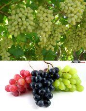 شرایط محیطی کاشت, روش تکثیر و آبیاری درخت انگور