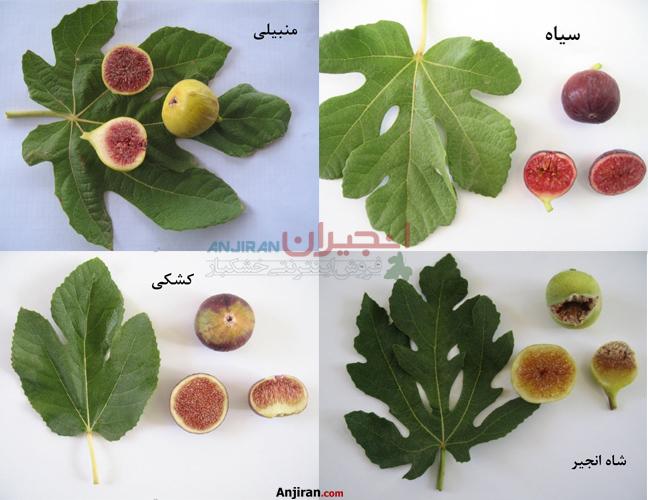 انواع انجیر در ایران