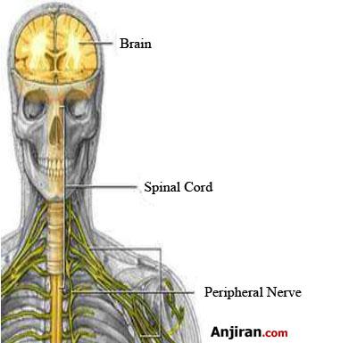 سیستم عصبی و خرما