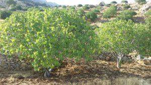 نمای درخت انجیر