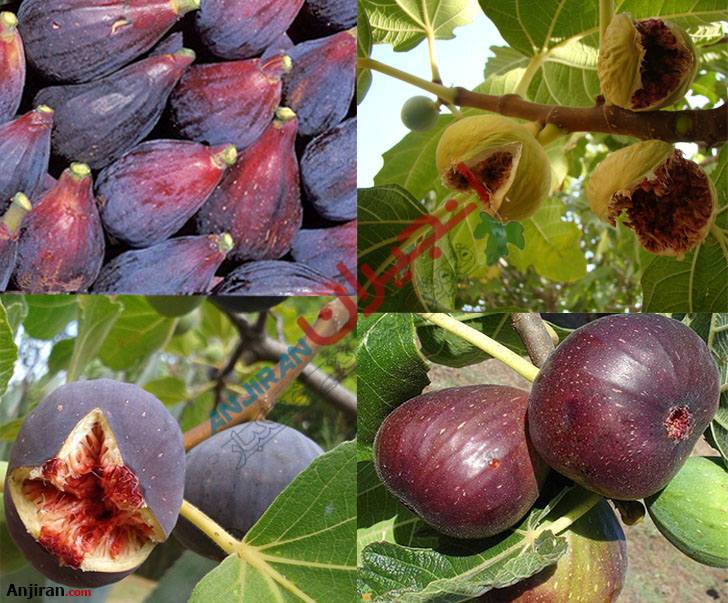 Fig Types; Tree and Fruit Classification