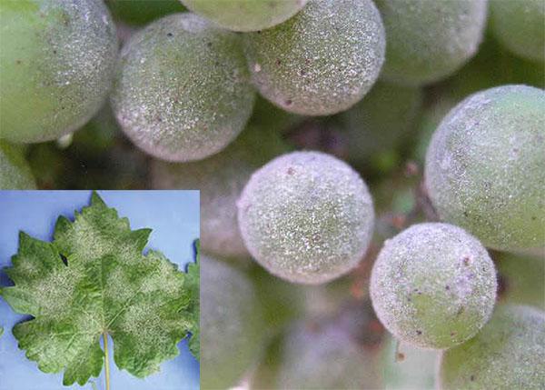 بیماری سفیدک انگور
