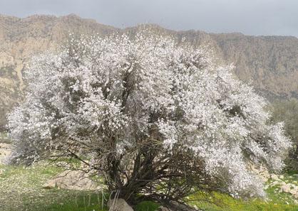 گیاه بادام کوهی - Mountain Almond