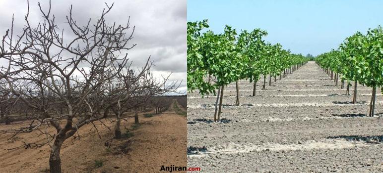 نیاز سرمایی درخت پسته